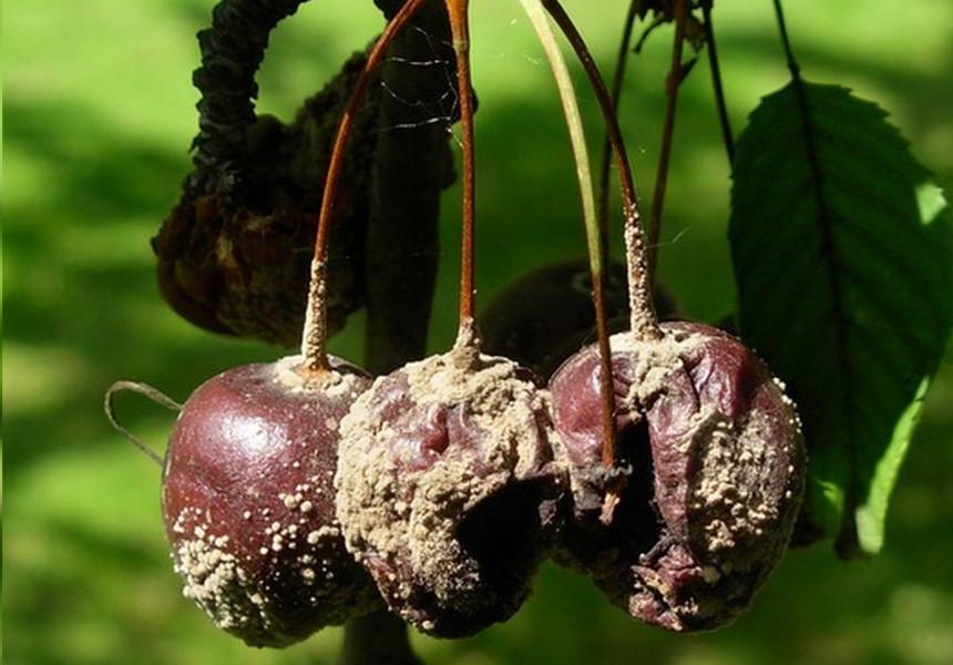 Kako najbolje zaštititi koštičavo voće od monilije?