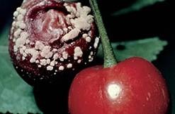 Suzbijte trulež plodova jabuke