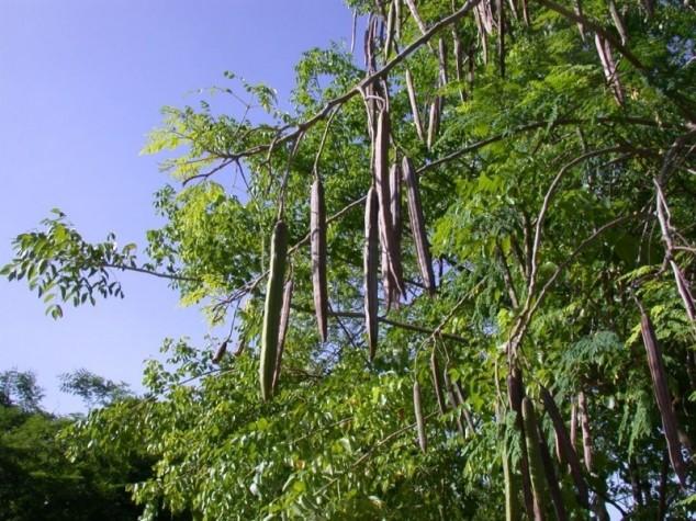 Moringa - besmrtno drvo prirodni lijek za tlo!