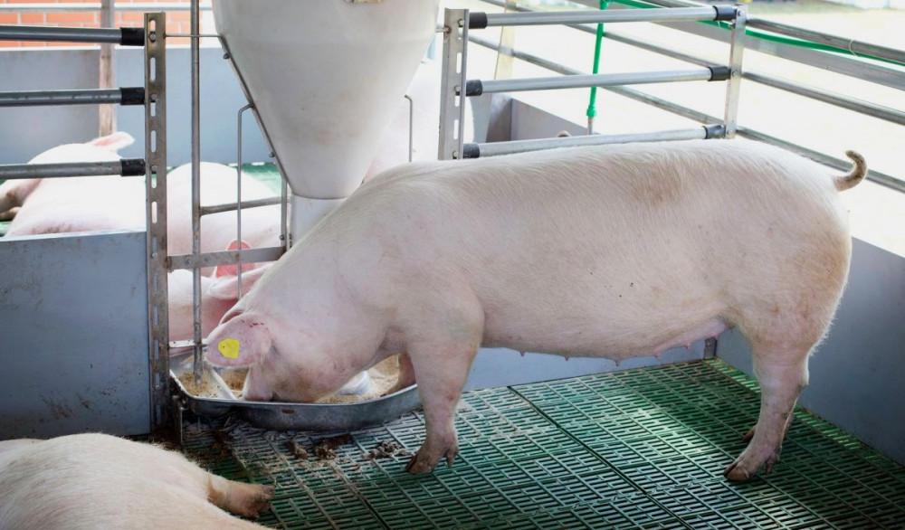 EFSA o riziku od MRSA-e u hrani za životinje