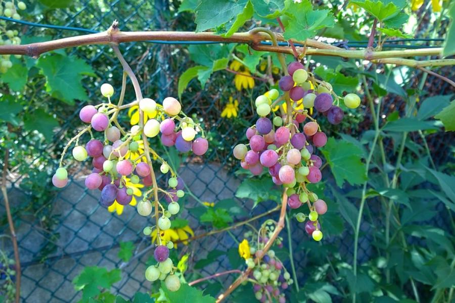 Grožđe koje se gaji bez pesticida