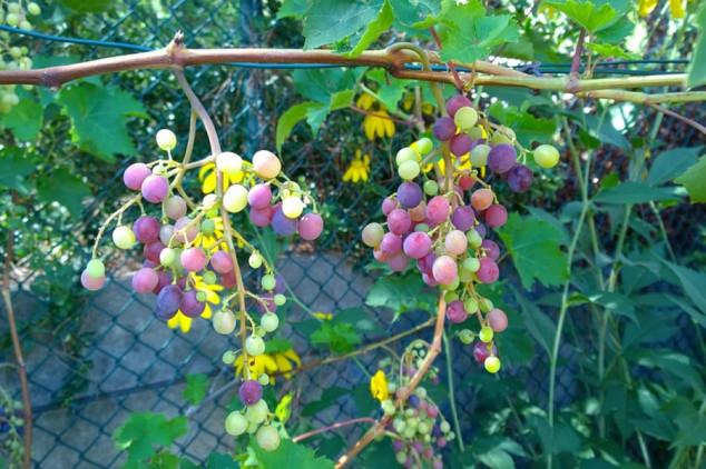 Grožđe koje se uzgaja bez pesticida