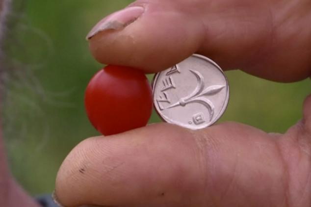 Izraelci proizveli najmanju rajčicu na svijetu
