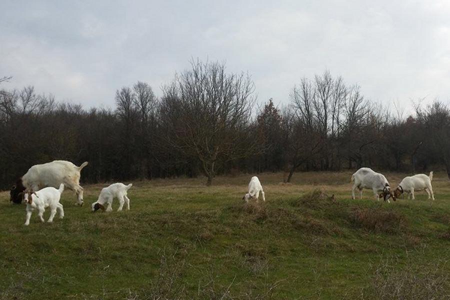 Burska koza - tovna i napredna rasa