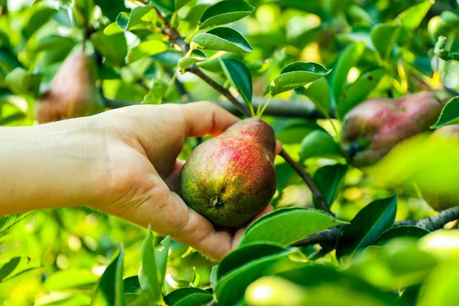 Sufinanciranje sadnje voća i ljekovitog bilja