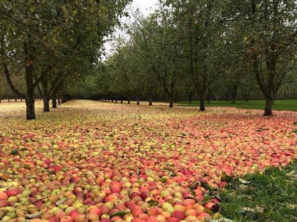 Oluja Ophelia pobrala jabuke