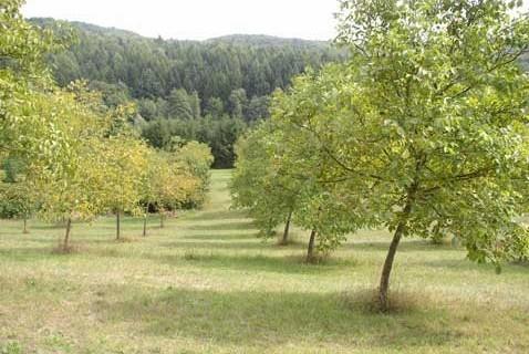 Orah - sadnja, formiranje i održavanje nasada