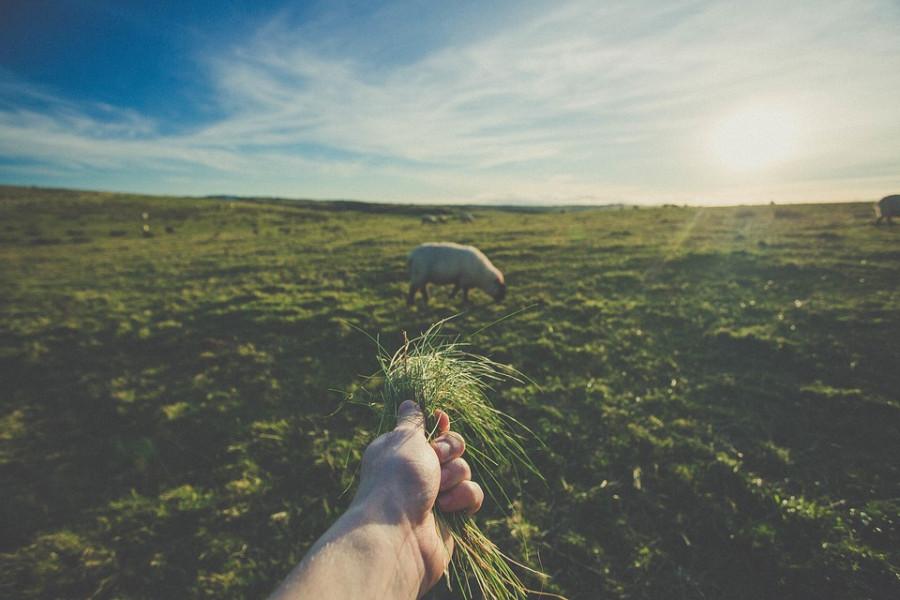 Sjenička ovca - skromna i otporna