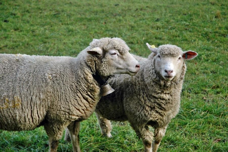 Eutanazirane ovce zaražene brucelozom