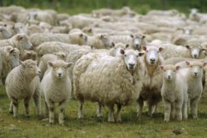 Uspješan projekt otkupa ovčje vune