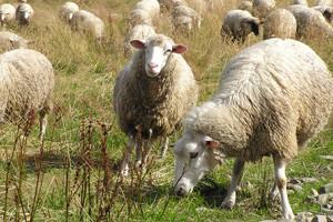 Zarazna šepavost ovaca i koza