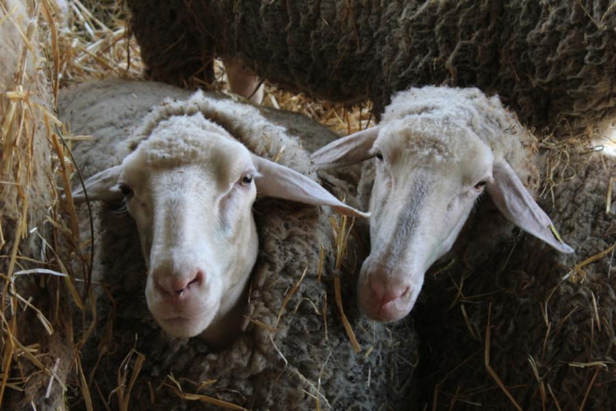 Ne za veštačko osemenjivanje ovaca
