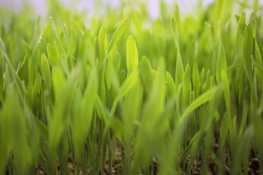 Potreba pšenice za mineralnim hranivima