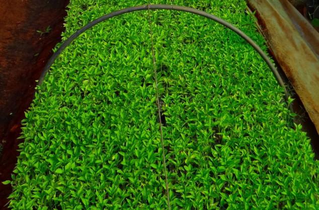 Kako proizvesti kvalitetne rasadnice paprike?