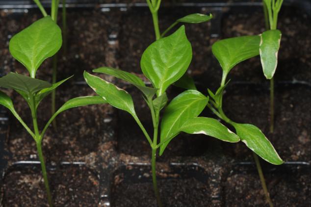 Kako proizvesti kvalitetan rasad paprike?