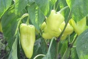 Razlika organski i konvencionalno uzgojenih namirnica - zdravlje