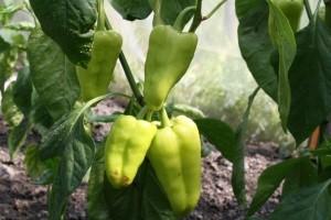 Od domaćeg ekološkog uzgoja hrane, traženija je ona uvozna i jeftinija roba