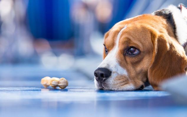 Anoreksija kod psa - kako je prepoznati