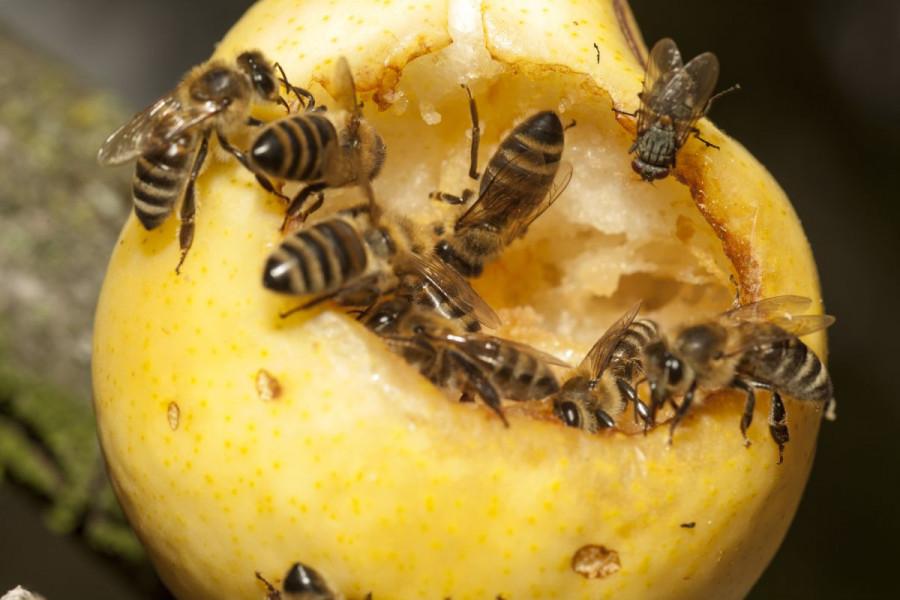 Sadik Čamdžić: Voćni sokovi nisu opasni za pčele!