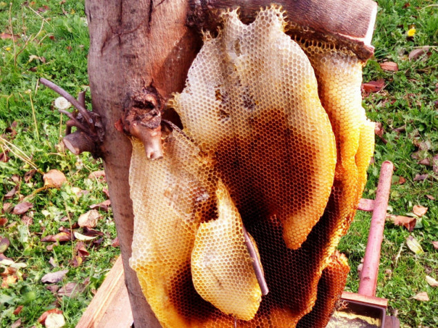 Pčele na drvetu napravile divovsko saće puno meda
