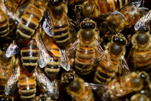 Pčele vide bolje od dronova, robota i ljudi