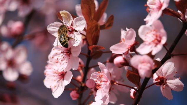 Pčele u potkrovlju, curio med sa zidova