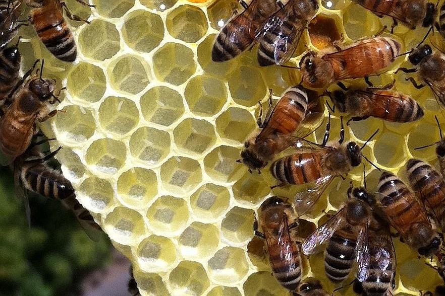 Dulja sezona cvjetanja loša za pčele?
