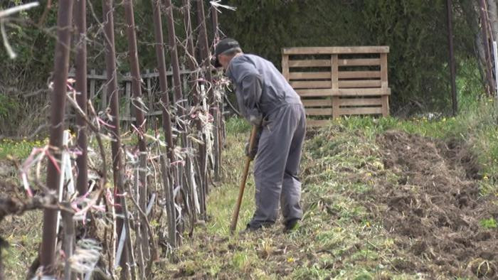 Ko voli da radi, neka vinograd sadi