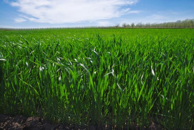 Đubrenje ozimih žitarica prije sjetve
