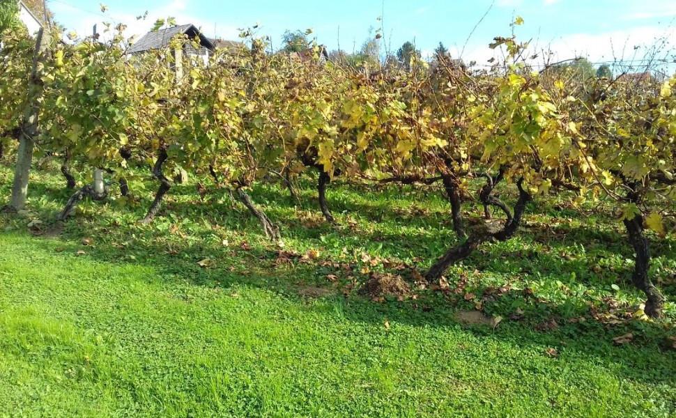 Gnojidba vinove loze u jesen