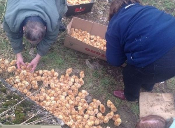 U polju pronašli hiljadu jednodnevnih pilića!