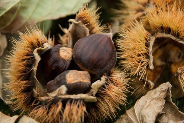 Pitomi kesten na više od 135 tisuća hektara u RH