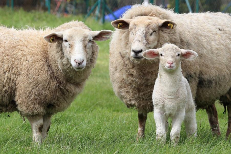 Od bolesti plavog jezika oboljelo 2.357 životinja