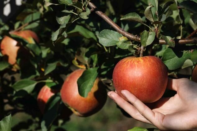 Uspešno suzbijte bolesti jabuke!
