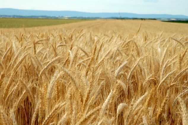 Ukrajina nastavlja izvoz pšenice u Egipat