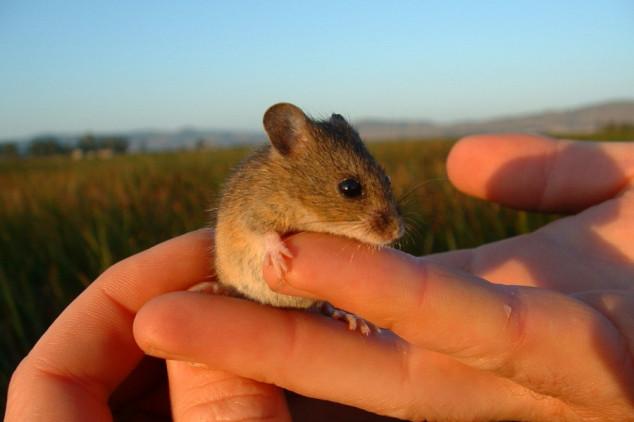 Poljski miš voli ozime usjeve
