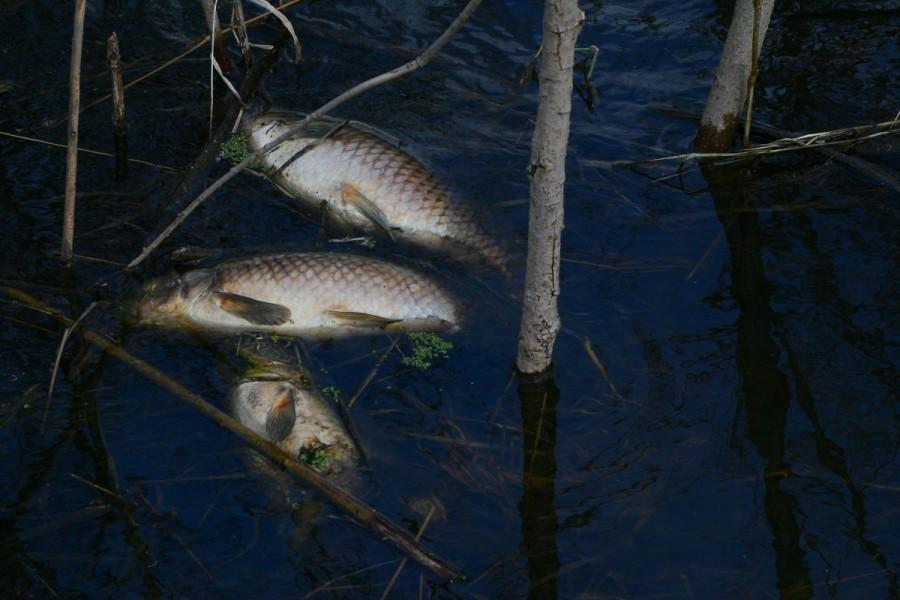 Potrovano 150 kilograma ribe