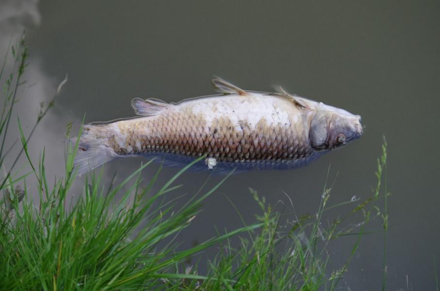 (Opet) pomor ribe u rijeci Drini