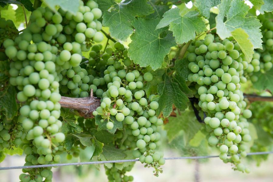 Posušaci, želite razvijati vinogradarstvo?