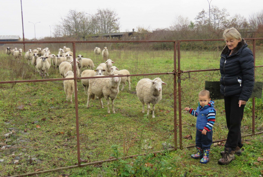Dugove im plaćali ovcama i odveli u poljoprivredu!