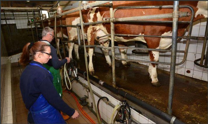 Dnevno prerade 100 litara mlijeka u prvorazredni sir