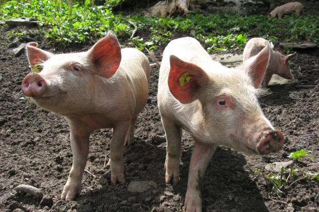 Dobrobit životinja za sigurnu hranu