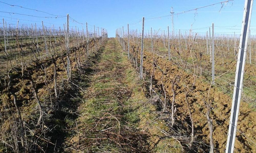 Proljetna prihrana vinograda putem tla i lista