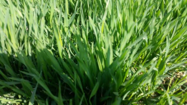 Kako pravilno prihraniti strne žitarice?