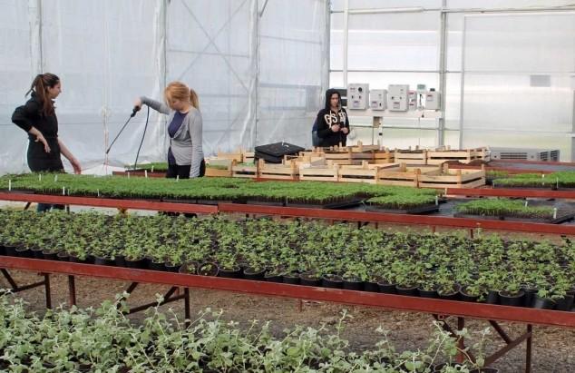 Kopriva pogodna za komercijalni uzgoj