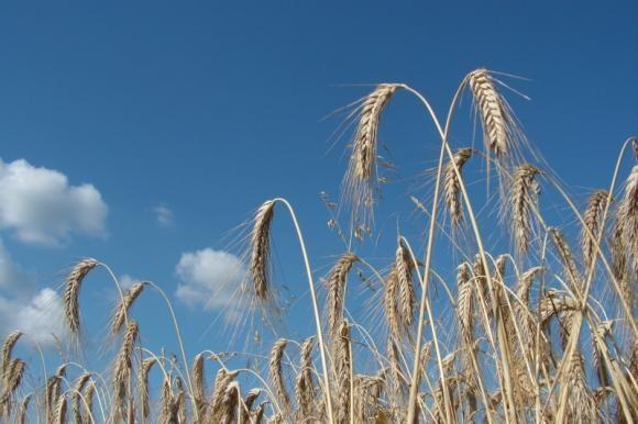 Opet loše prognoze za pšenicu!