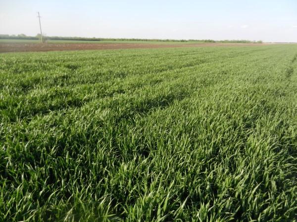 Pregledi pšenice i ječma