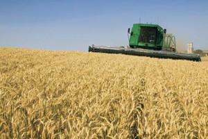 Žetva pšenice u Belju u punom jeku