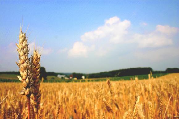Pšenica, 20 dana rada zarada 35 tisuća kuna!