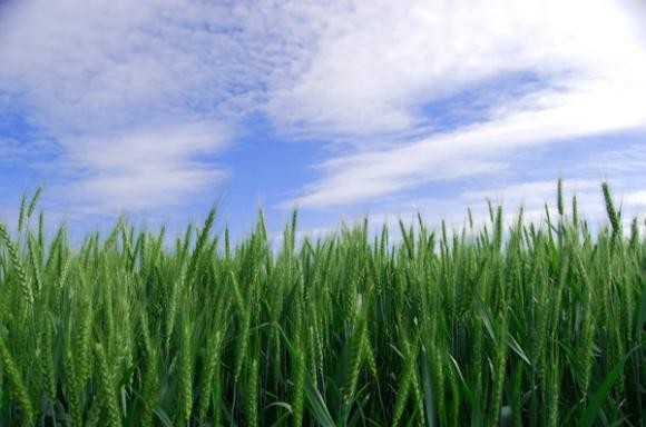 Bolesti pšenice i ječma